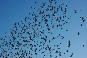 lache-de-pigeons-voyageurs-1277305823-1305260